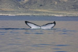 Humpback whale off the coast of the Sultanate of Oman ©Environment Society of Oman